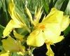 Выращивание канны: посадка, уход и хранение корневища
