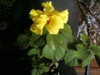 Китайская роза или гибискус