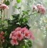 Ошибки, задерживающие цветение герани