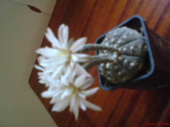 Содержание и полив кактусов.
