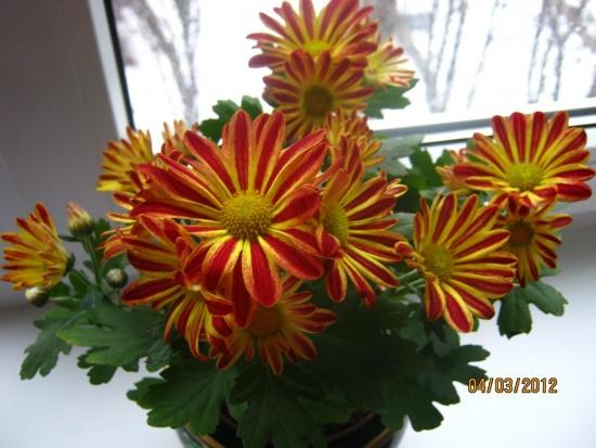 Хризантема - радость в доме
