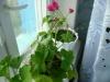 Переносим цветы в дом