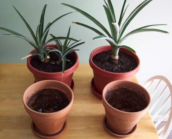 Как вырастить ананас дома из верхушки - a