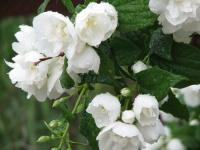 Размножаем чубушник (жасмин)