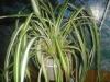 Уменьшать полив хлорофитуму нужно постепенно