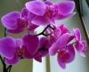 Орхидея - королева цветов