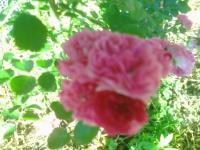 Табак -  помощник в борьбе с вредителями цветов