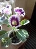 Первое цветение глоксинии - дождалась!