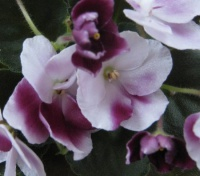 Как добиться пышного цветения сенполий?