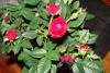 Красавица мини - роза