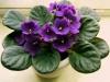 Фиалки отказываются цвести