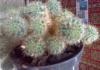 Детки кактуса