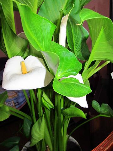 Цветок калла как ухаживать за