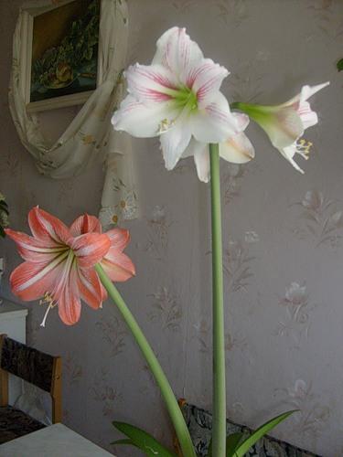 Гиппеаструм - растение, радующее всю зиму