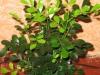 Мурайя - маленькая экзотика в доме