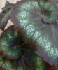 Размножение бегонии и фиалки от фрагмента листа