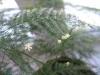 Цветущий аспарагус