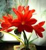 Гиппеаструм - 7 цветков на одном стебле, редкий случай