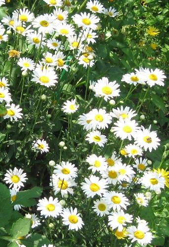 Садовая ромашка крупная выращивание 17