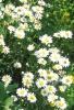 Платикодон выращивание и ромашка садовая: посадка, выращивание и уход
