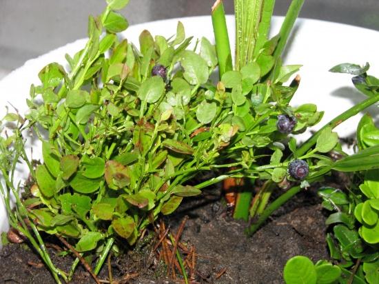 Выращивание черники домашних условиях