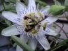 Как выращивать пассифлору?