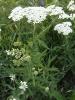 Лекарственный газон: тысячелистник в саду