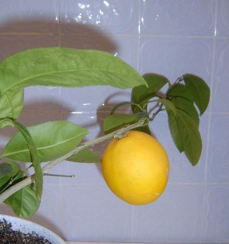 Как сделать чтобы лимон зацвел