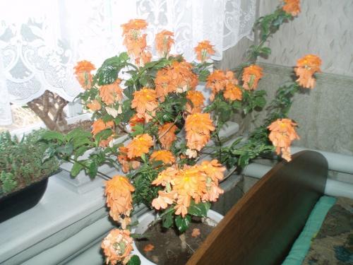 Цветок кроссандра - уход и 48